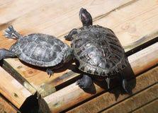 Zwei Rot-ohrige Schildkröten aalen sich in der Sonne Lizenzfreies Stockfoto
