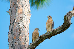Zwei rot-schulterten Falken Stockfotos