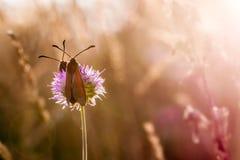 Zwei rot und schwarze Schmetterlinge auf der Blume stockfotos