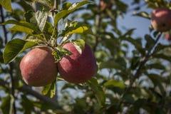 Zwei rote Äpfel und Blätter Stockbild