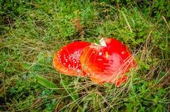 Zwei rote Fliegenpilze Stockbild