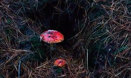 Zwei rote Fliegenpilze des Halluzinogens Lizenzfreie Stockfotografie