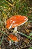 Zwei rote Fliegenpilze unter trockenem Herbstgras Lizenzfreies Stockfoto