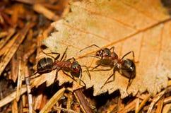 Zwei rote hölzerne Ameisen Stockbilder