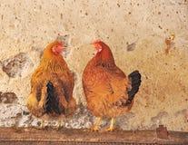 Zwei rote Hennen in einem Hühnerstall Lizenzfreies Stockbild