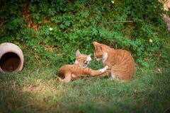 Zwei rote Kätzchen Lizenzfreies Stockbild