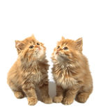 Zwei rote Kätzchen Stockfotos