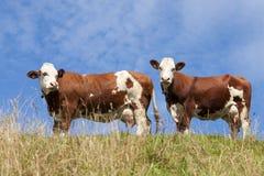 Zwei rote Kühe stockfotografie