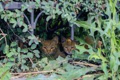 Zwei rote Katzen versteckt sich in den Büschen Lizenzfreie Stockfotos