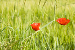 Zwei rote Mohnblumen Stockfotografie
