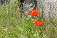 Zwei rote Mohnblumen im Gras stockfoto
