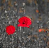 Zwei rote Mohnblumen im Vordergrund auf einem grauen Hintergrund Stockbild
