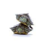 Zwei rote Ohrschildkröten stockfotografie