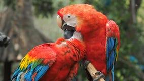 Zwei rote Papageien, die und das französische Küssen sich säubern stock video