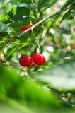 Zwei rote reife Kirschen, die auf dem Baum wachsen Stockfotografie