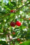 Zwei rote reife Kirschen, die auf dem Baum wachsen Stockfotos