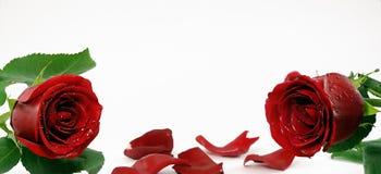 Zwei rote Rosen Stockbilder
