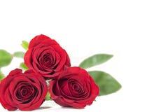 Zwei rote Rosen auf einem lokalisierten weißen Hintergrund Stockbilder