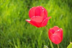 Zwei rote Tulpen unter einem sonnigen Himmel auf Hintergrund des grünen Grases Stockbild