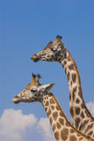 Zwei Rothschild Giraffen Stockbilder