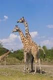 Zwei Rothschild Giraffen Lizenzfreies Stockfoto