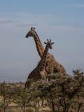 Zwei Rothschilds Giraffen, die Hälse kreuzen Stockbilder
