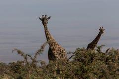 Zwei Rothschilds Giraffen, die oben schauen Lizenzfreies Stockbild