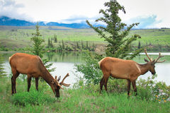Zwei Rotwild auf dem Gras Stockfoto