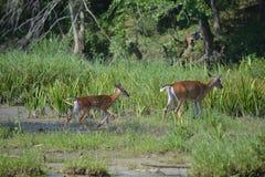 Zwei Rotwild auf Seite von Fluss Stockbild