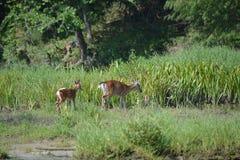 Zwei Rotwild auf Seite von Fluss Lizenzfreies Stockfoto