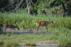 Zwei Rotwild auf Seite von Fluss Lizenzfreie Stockfotos