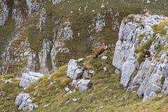 Zwei Rotwild, die hinunter den Hügel laufen Stockfotografie