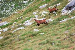 Zwei Rotwild, die hinunter den Hügel laufen Lizenzfreie Stockfotografie