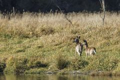 Zwei Rotwild durch den See Lizenzfreie Stockfotografie