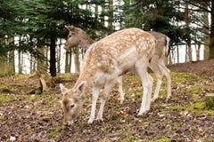 Zwei Rotwild im Wald Stockfotos