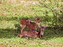 Zwei Rotwild in Sri Lanka lizenzfreies stockbild