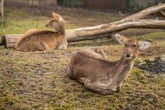 Zwei Rotwild am Zoo in Berlin Stockfotografie