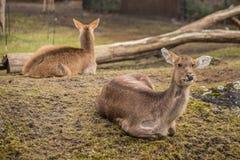 Zwei Rotwild am Zoo in Berlin Lizenzfreie Stockbilder