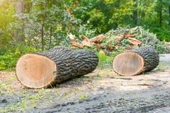 Zwei sägten Stämme von Bäumen am Rand des Waldes und fällten Lizenzfreie Stockbilder