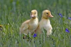 Zwei süße Baby-Entlein lizenzfreies stockfoto