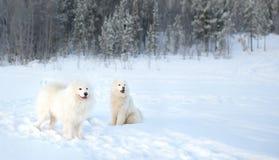 Zwei Samoyedhundeweg im Winterwald Stockfotos
