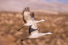 Zwei sandhill Kräne im Flug Stockfoto