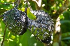 Zwei sauer Sobben bedeckt in den schwarzen Ameisen lizenzfreie stockfotografie