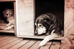 Zwei Schäferhunde in ihren Hundehütten Stockfotografie