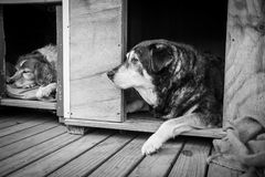 Zwei Schäferhunde in ihren Hundehütten Lizenzfreies Stockfoto