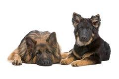 Zwei Schäferhundhunde Stockfoto