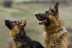 Zwei Schäferhundhunde, die auf einen entfernten Punkt sich konzentrieren Stockfotografie