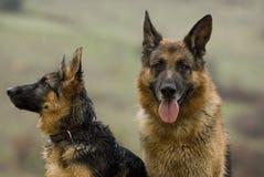 Zwei Schäferhundhunde, die Entlüfter nehmen Lizenzfreie Stockfotos