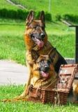 Zwei Schäferhundhunde mit Korb Stockfotografie