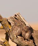 Zwei Schätzchen kleine Eulen Stockbild